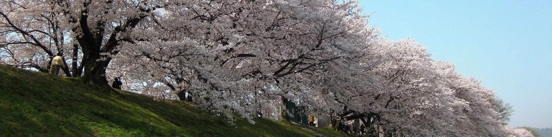 야스라기노미치의 벚꽃