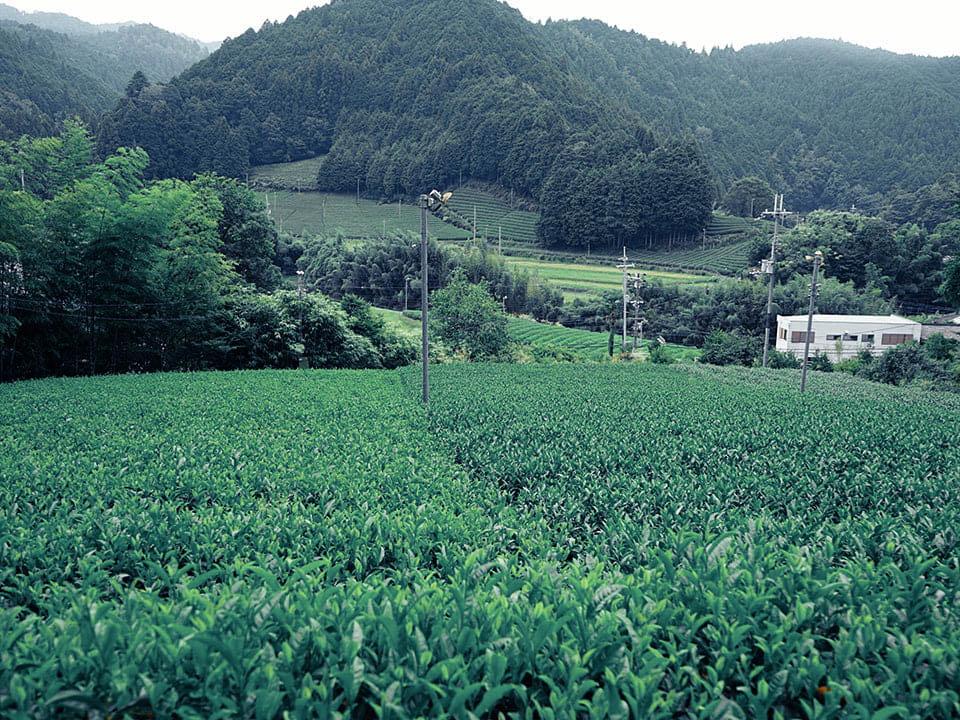 Tea fields at Ishidera