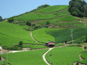 Ishitera Tea Fields