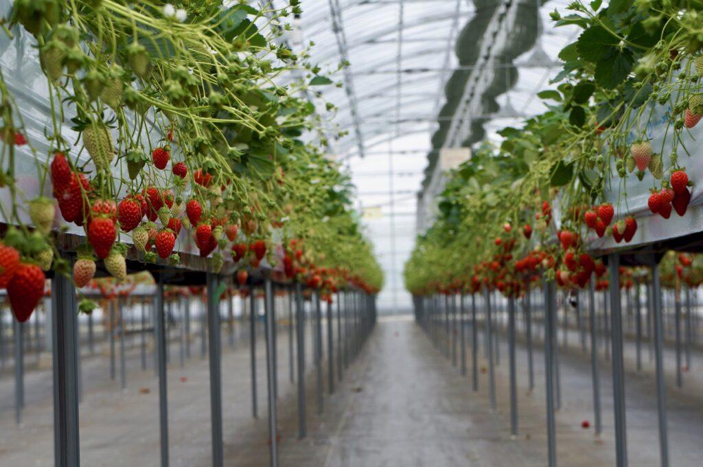 Uesugi Strawberry Farm