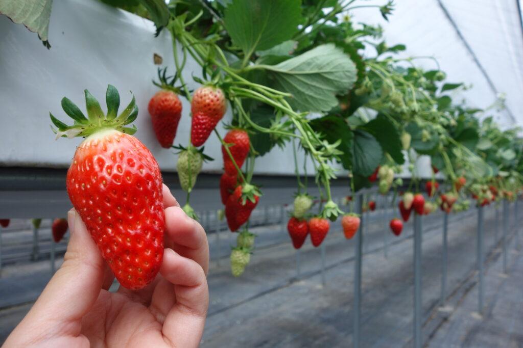 Strawberry House British Garden Yawata Farm